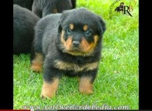 Permanent Link to CH. FRANCO DE BEDIA X ROTMANBULLS DANYA
